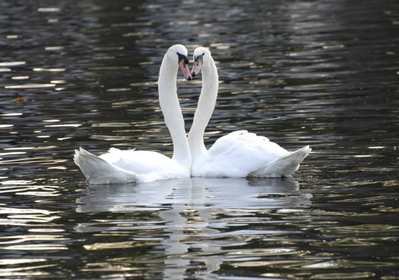 SWANS IN LOVE RIVER AVON STRATFORD UPON AVON