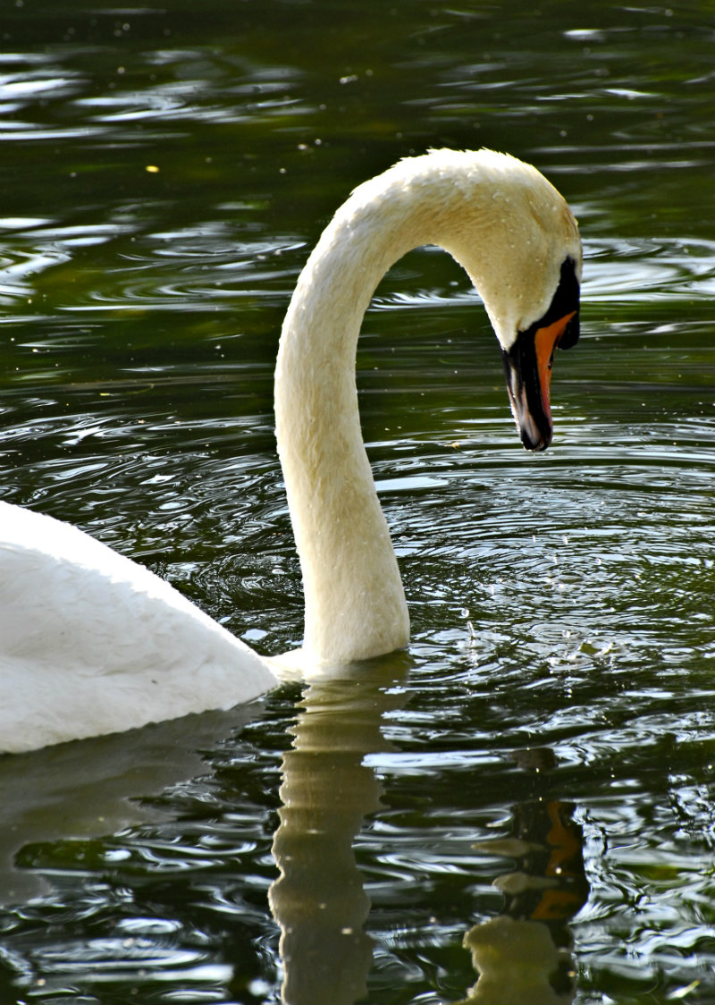 LONELY SWAN RIVER AVON STRATFORD UPON AVON